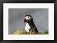 Framed Puffin Bird Colorful Beak