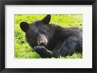 Framed Black Bear On Grass