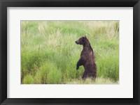 Framed Bear In High Grass