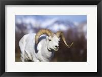 White Ram Brown Horns II Framed Print
