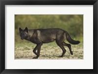 Framed Black Wolf On The Prowl
