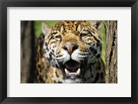 Framed Jaguar Fangs