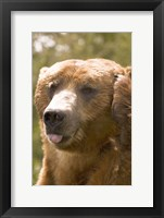 Framed Brown Bear Tongue Out