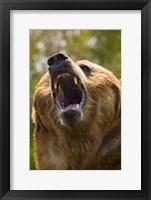 Framed Bear Yawn I
