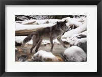 Framed Gray Wolf And Snow River