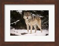 Framed Brown Wolf In Winter