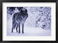 Framed Gray Wolf In Winter Snow