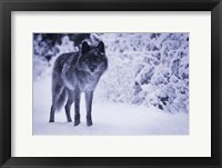 Framed Gray Wolf In Winter Snow