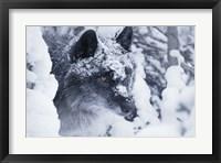 Framed Gray Wolf Under Winter Snow