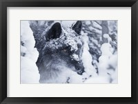 Framed Gray Wolf Under Winter Snow