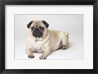 Framed Pug Sitting PortraitOn White