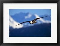Framed Soaring Eagle Over Blue Mountains