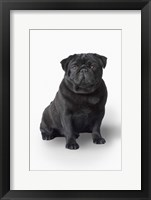 Framed Black Pug Portrait On White