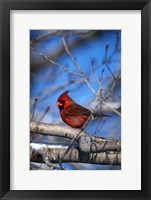 Framed Cardinal On Birch Branch