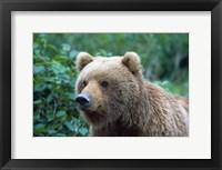 Framed Brown Bear Stare