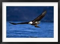 Framed Soaring Eagle Over Blue Sea