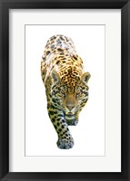 Framed Jaguar On White
