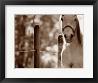 Framed White Horse Closeup Sepia