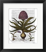Framed Vintage Hyacinth