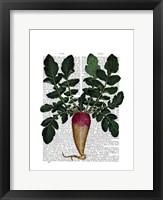 Turnip Framed Print