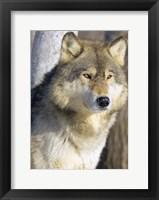 Framed Wolf