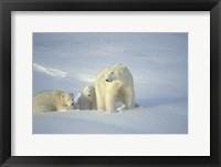 Framed Polar Bear and Cubs