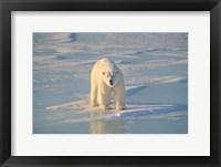 Framed Polar Bear Afloat