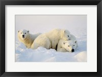 Framed Cubs Playing with Polar Bear