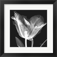 Framed Lusty Tulip 1