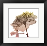 Framed Rose Dawn 4