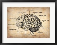 Framed Vintage Brain Map Anatomy