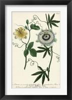 Framed Antique Passion Flower II