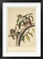 Framed Audubon Squirrel I