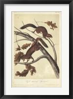 Framed Audubon Squirrel III