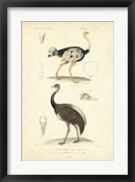 Framed Antique Ostrich Study