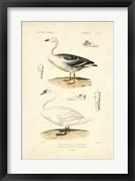 Framed Antique Swan Study