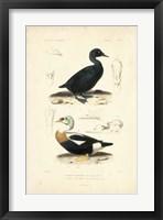 Framed Antique Duck Study I