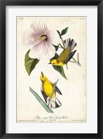 Framed Yellow Swamp Warbler