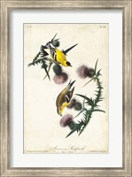 Framed American Goldfinch
