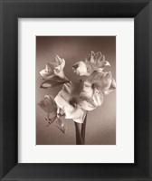 Framed Amaryllis
