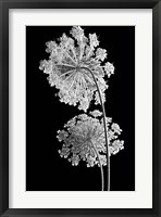 Framed Queen Anne Lace