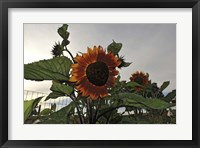 Framed Sunflowers and Storm