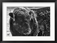 Framed Snow Covered Ice Bull
