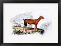 Framed Female Goat