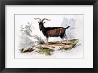 Framed Male Goat