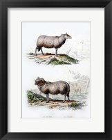 Framed Sheep and Ram