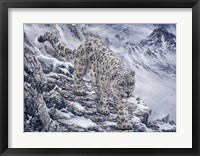 Framed Snow Leopard