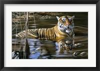 Framed Cooling Off Bengal Tiger