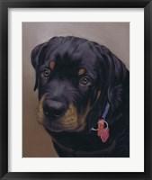 Framed Rottweiler Solo