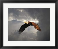 Framed Above The Storm Bald Eagle